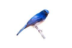 Schöner männlicher blauer Schnäpper Hainans (Cyornis-concreta) auf Niederlassung auf weißem Hintergrund Lizenzfreies Stockbild