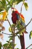 Schöner Macaw Lizenzfreie Stockbilder