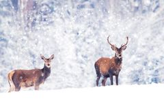 Schöner Mann und weibliche edle Rotwild im schneebedeckten weißen Waldkünstlerischen Weihnachtswinterbild Wintermärchenland stockbild