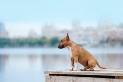 Schöner Minibullterrier der roten und weißen Hunderasse, der auf einem hölzernen Pier sitzt Stockbild