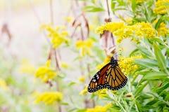Schöner Monarchfalter mit gelben Blumen lizenzfreie stockfotografie