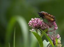 Schöner Monarchfalter niedrig gehockt auf Milkweed Stockfotos