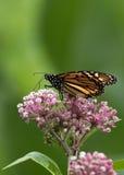 Schöner Monarchfalter niedrig gehockt unten auf Milkweed Lizenzfreie Stockfotografie