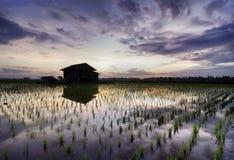 Schöner Morgen am Reisfeld mit buntem Himmel Reflexion auf dem Wasser und grünen der Sprösslingspaddyanlage an der neuen Jahresze Lizenzfreies Stockfoto