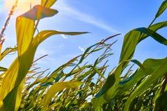 Schöner Morgensonnenaufgang über dem Maisfeldabschluß herauf Ansicht Stockfotografie