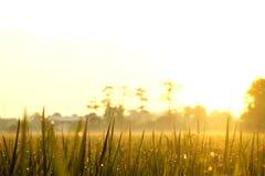Schöner Morgensonnenaufgang auf dem Reisgebiet oder -bauernhof mit einigem befeuchtet O lizenzfreies stockbild