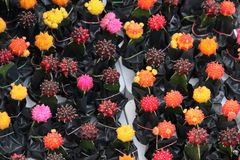 Schöner multi Farbkaktus im Garten lizenzfreie stockfotografie