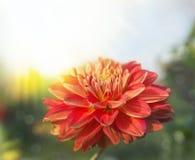 Schöner natürlicher Hintergrund mit Dahliennahaufnahme Stockfoto