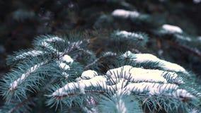 Schöner natürlicher Winterhintergrund Kieferzweige umfaßt mit Schnee Gefrorener Baumast im Winterwaldabschluß oben stock footage