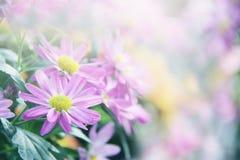 Schöner Naturabschluß herauf Kosmosblumenhintergrund im Frühjahr lizenzfreie stockbilder