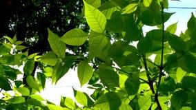 Schöner Naturhintergrund Grüner Sommer- oder Frühlingshintergrund mit frischen Grünblättern und -sonne beleuchten stock video footage