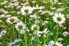 Schöner Naturhintergrund, Wiese von Blumen der wilden Kamille stockfotos