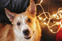 Schöner netter Hund, der an den Eigentümerbeinen auf Hintergrund von golde sitzt lizenzfreie stockfotos