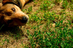 Schöner netter kleiner einäugiger Hundewelpe, der das Lügen auf dem Gras spielt Stockfoto