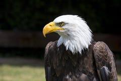Schöner nordamerikanischer Weißkopfseeadler Stockfotos
