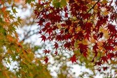 Schöner November-Herbstrotahorn lässt Vordergrund mit gelbem und grünem unscharfem bokeh Hintergrund, Kyoto lizenzfreie stockfotografie