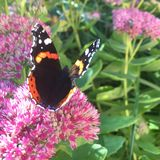 Schöner Nymphalidae Inachis io-Schmetterlingsabschluß oben Lizenzfreies Stockbild