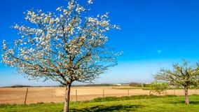 Schöner Obstbaum, der mit weißen Blumen im Obstgarten mit Ackerland im Hintergrund blüht lizenzfreies stockbild
