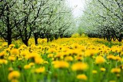 Schöner Obstgarten mit yelow Löwenzahn Stockfotografie