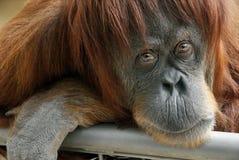 Schöner Orang-Utan, der die Kamera untersucht Stockbilder