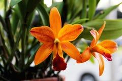 Schöner orange Orchidee cattleya Abschluss oben Stockbild