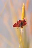 Schöner orange Schmetterling auf Gras an der Dämmerung. Stockfoto