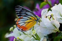 Schöner orange Schmetterling, der auf eine Blume einzieht Lizenzfreies Stockbild