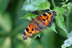 Schöner orange Schmetterling, der auf einem grünen Blatt sitzt Lizenzfreies Stockbild