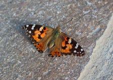 Schöner orange und schwarzer Schmetterling, der aus den Grund sitzt stockfotos