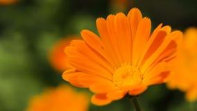 Schöner orange Wildflower stock video