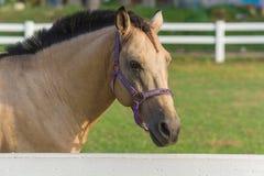 Schöner Pale Brown Horse, ein Viertelhengst auf dem Gebiet, das beiseite schaut stockbilder