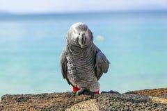 Schöner Papagei des afrikanischen Graus, der an der Strandpromenade einer Wand sitzt Lizenzfreies Stockbild