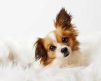 Schöner Papillon-Chihuahua-Hund auf dem weißen Pelz lokalisiert Stockfotografie