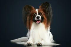 Schöner papillon Hund Lizenzfreies Stockbild
