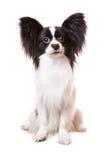 Schöner papillon Hund, der auf lokalisiertem Weiß sitzt Lizenzfreies Stockfoto