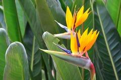 Schöner Paradiesvogel Blume Lizenzfreies Stockbild