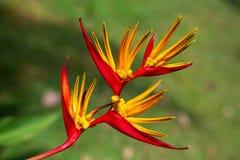 Schöner Paradiesvogel Blume Strelitzia reginae lokalisiert im grünen Hintergrund lizenzfreie stockfotografie