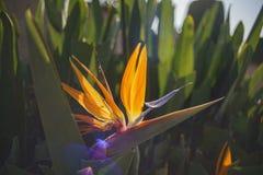 Schöner Paradiesvogel Blumenblüte Stockfotografie