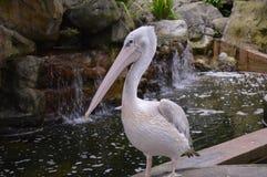 Schöner Pelikan Stockfoto