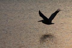 Schöner Pelikan, der über den Ozean fliegt Stockfotografie
