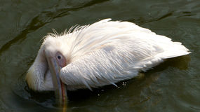 Schöner Pelikan gebadet in einem Teich Lizenzfreie Stockfotografie