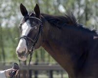 schöner Pferdenkopf Stockbild