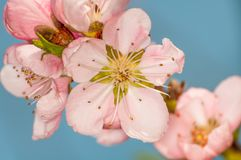 Schöner Pfirsichblütenpfirsich auf Blau ist nicht im Frühjahr Jahreszeit Lizenzfreie Stockfotos
