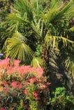 Schöner Pieris 'Forest Flame-' im Frühjahr Garten Lizenzfreies Stockbild