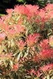 Schöner Pieris 'Forest Flame-' im Frühjahr Garten Stockbilder