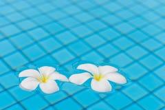 Schöner Plumeria blüht auf der Oberfläche des Wassers im PO Stockfoto