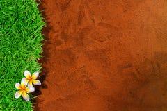 Schöner Plumeria getrennt Stockbilder