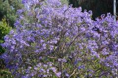 Schöner purpurroter blühender Baum Lizenzfreies Stockbild