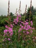 Schöner purpurroter Fireweed hoch in kanadischen Rocky Mountains an einem remo stockfotos