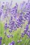 Schöner purpurroter Lavendel stockfotografie